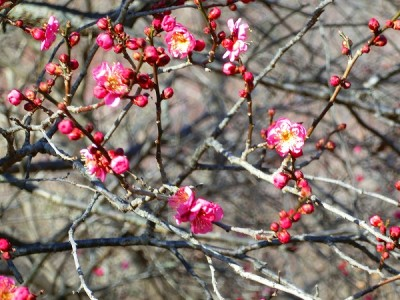 梅の名所として、人気な国営武蔵丘森林公園の画像