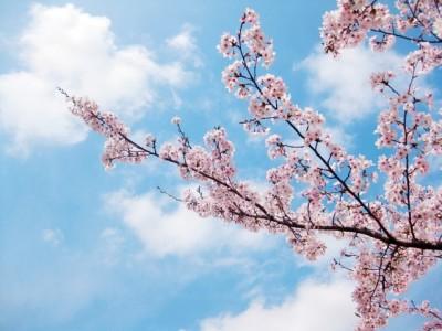 札幌・円山公園の桜のイメージ画像