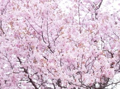 札幌・真駒内公園の桜のイメージ画像