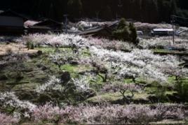 梅の花の名所・川売地区の画像01