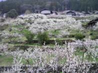 梅の花の名所・川売地区の画像02