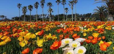 ポピー、花、花摘み、ポピーの名所館山
