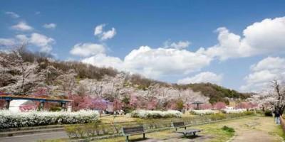 桜の花見の水源公園の画像