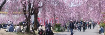 桜、開花、名古屋、東谷山の画像