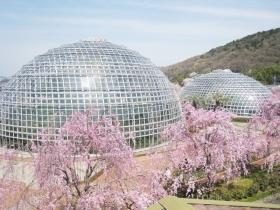 名古屋東谷山フルーツパークで花見に親子でおでかけの画像