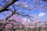 梅の名所として、人気な越生梅林の画像