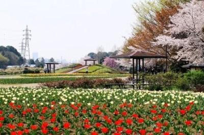 チューリップの花畑がきれいな公園など大宮花の丘農林公苑の画像02