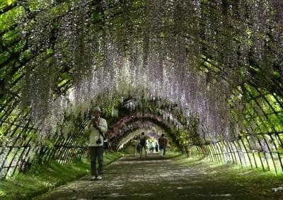 藤の花の名所の河内藤園の藤