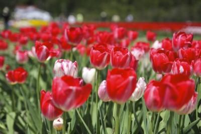 チューリップの祭りも開催される響灘緑地の画像