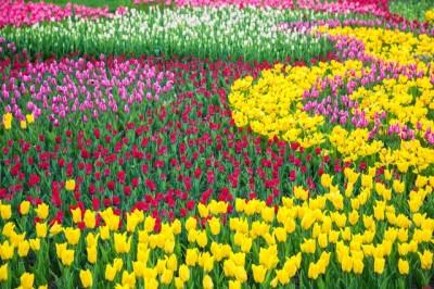 チューリップ畑のイメージ画像