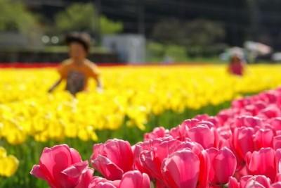 チューリップの花畑がきれいな公園のイメージ画像