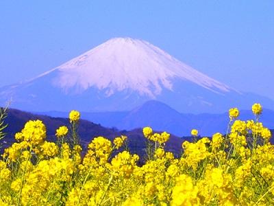 菜の花、季節、時期、吾妻山の画像