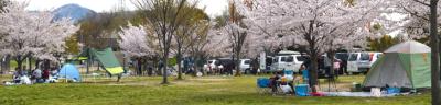 花見もバーベキューも楽しみたいバーベキューサイトと桜の画像