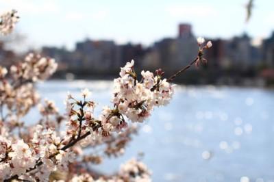 東京の桜の名所の隅田川テラスのイメージ画像