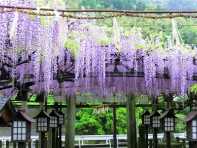 黒木の藤の花の名所の画像