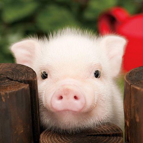 ひょっこり顔を出す豚の赤ちゃん