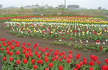 足立区都市農業公園のチューリップ畑の画像