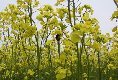 北海道、スケールが大きい、札幌の菜の花の画像