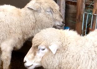 関口牧場羊
