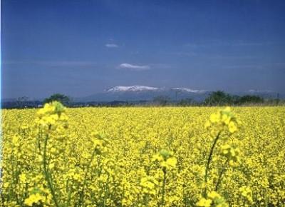 菜の花、お散歩、宮城県、名所、角田の菜の花の画像