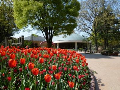チューリップ、咲き誇る、名城公園の画像