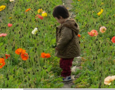 ポピー、花、花摘み、子どもとポピーの画像