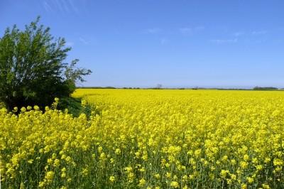北海道、スケールが大きい、菜の花畑の画像