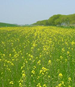埼玉の菜の花①