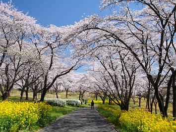 埼玉の菜の花の画像②