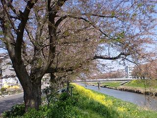 埼玉の菜の花の画像④