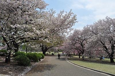 東京お花見おすすめ公園新宿の画像