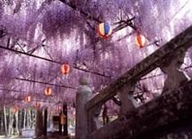 藤の花の名所中山の大藤の画像