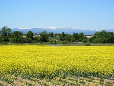 北海道、スケールが大きい、滝川の菜の花の画像
