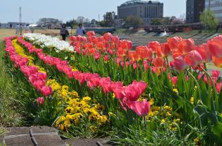 チューリップの花畑がきれいな公園など葛西用水の画像01