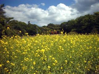 菜の花、お散歩、宮城県、名所、浦戸の画像
