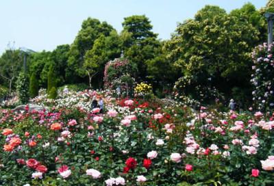 花の観光_バラまつりの画像