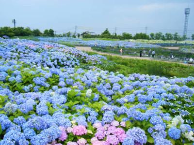 花の観光_あじさい・花しょうぶ祭り