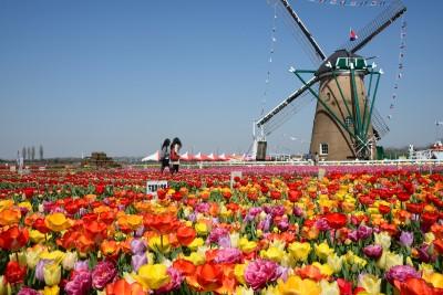 佐倉チューリップフェスタのチューリップ畑の画像