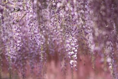 藤の花、癒される、藤の花の画像
