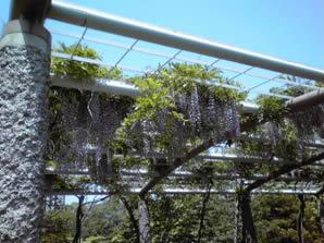 札幌中島公園の藤の花の画像