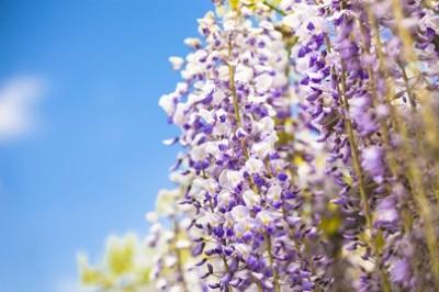 藤の花、癒される、青空と藤の画像