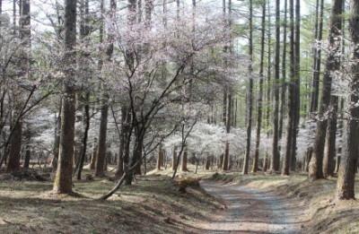 中ノ茶屋エリアで桜を楽しむふじさくら祭りの画像