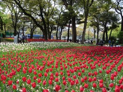 横浜公園のチューリップ畑の画像