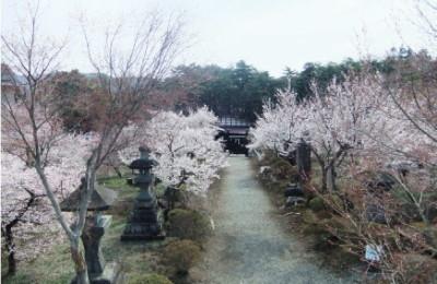 歴史民俗博物館エリアで桜を楽しむふじさくら祭りの画像