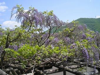 まるせっぷ藤園の藤の花の画像