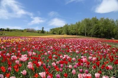 チューリップの季節にこどもとおでかけのイメージ画像