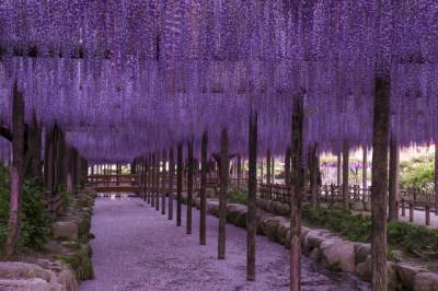 藤棚の名所天王川公園の画像