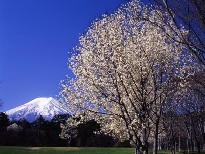富士山と桜を楽しむふじさくら祭りのイメージ画像