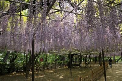 藤棚の名所岡崎公園の画像