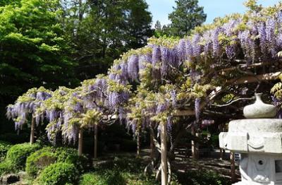 藤の花、癒される、金蛇水神社の画像